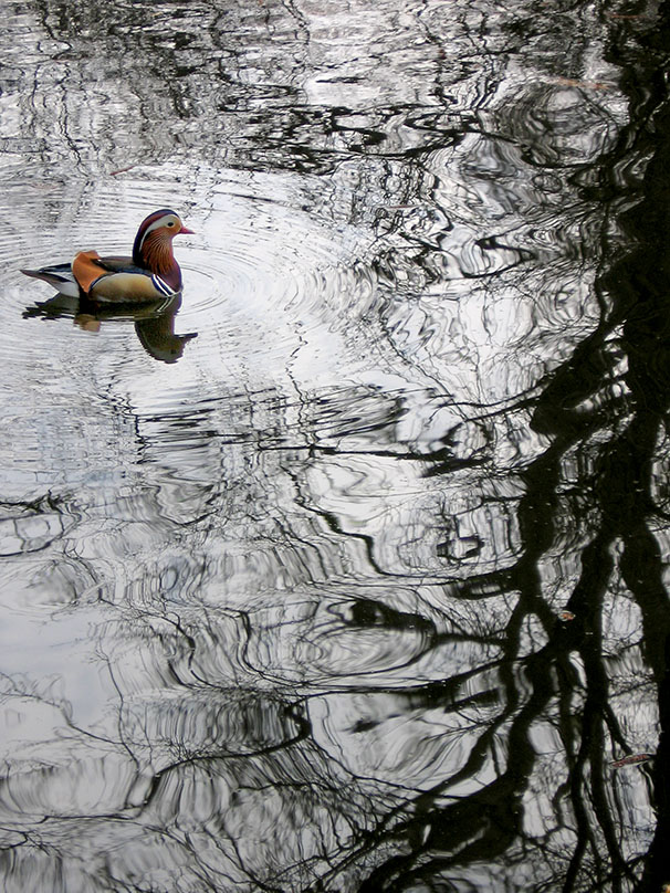 Non-native but well-adapted are Berlin's Mandarin Ducks, seen here in the Tiergarten. - <em>by SL Wong</em>