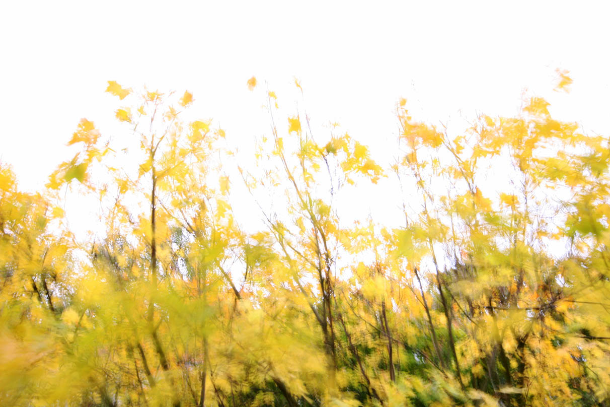 In autumn, the <em>Spitzahorn</em> leaves outside my bedroom window turn a brilliant yellow. - <em> by SL Wong</em>