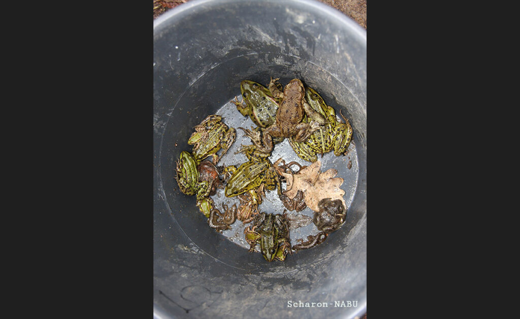 This particularly good collection comprises the <em>Rana lessonae</em> (<em>Kleine Wasserfrosch</em>/pool frog), <em>Triturus vulgaris</em> (<em>Teichmolch</em>/common newt) and <em>Rana arvalis</em> (<em>Moor Frosch</em>/moor frog).- <em>by Scharon-NABU</em>