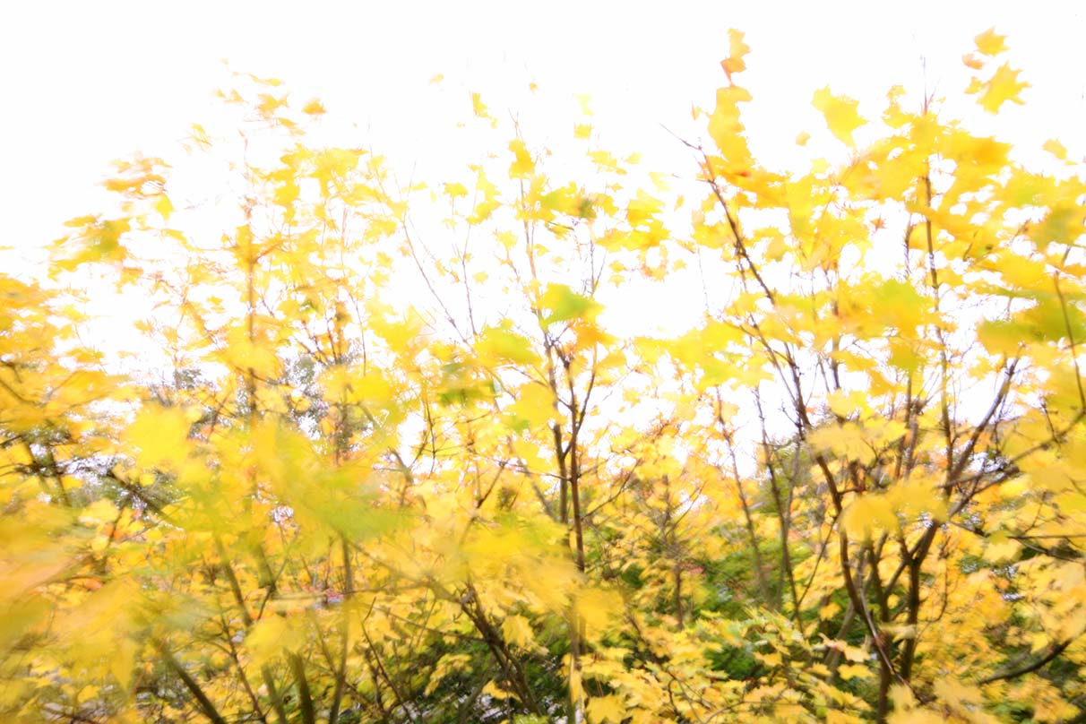 <em>Spitzahorn</em>-yellow is therefore, synonymous for me, with a Berlin autumn. - <em> by SL Wong</em>
